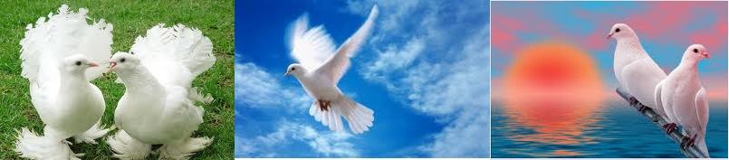 Белые голуби на вашу свадьбу. Традиция и цены.